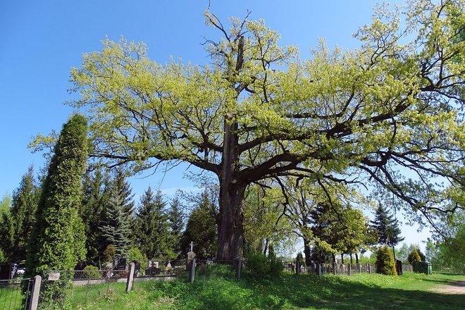 Barley oak